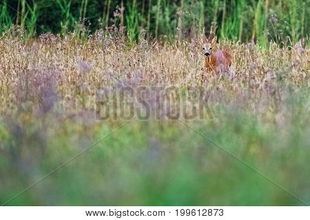 Roe Deer Buck In Field With Wild Flowers Looking Towards Camera.