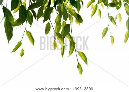 Green Weeping fig Ficus tree branch isolate on white background