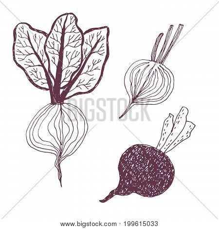 Seasonal autumn vegetables. Hand drawn vector set. Beetroot