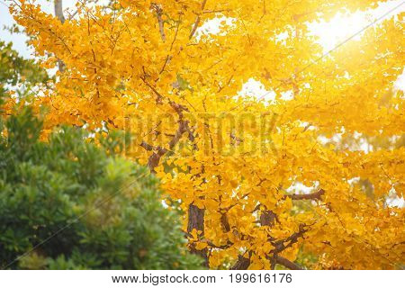 Close-up Ginkgo Biloba yellow leaf (ginkgo gingko maidenhair tree) in Autumn season at Senso-ji temple in Asakusa District a major tourist attraction in Tokyo Japan
