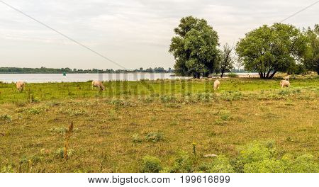 Light brown group of cows is grazing on the floodplains of a Dutch river in the summer season.