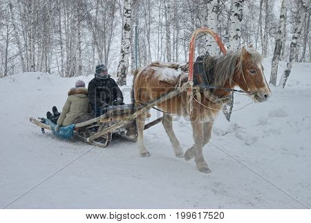 The horse pulls the sled along the snowy road. Reliable transport to one horsepower. Frost, birch forest, snow, temperature minus 35 C. Siberia.