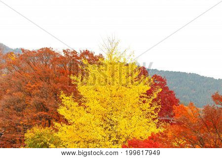 Autumn color change is season colorful with red and yellow leaves alternates beautiful nature blue sky background in Kanto region at Kawaguchiko Kyoto Japan. Popular people and photographer.