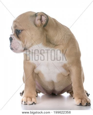 bulldog puppy sitting on white background