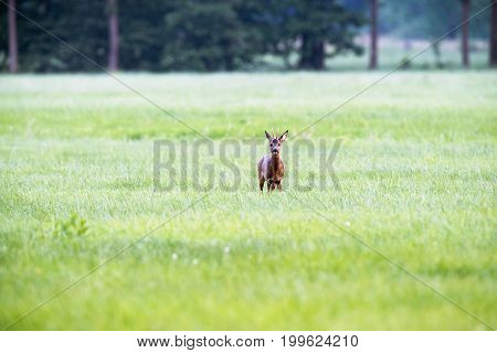 Roe Deer Buck In Meadow Looking Towards Camera.