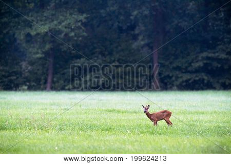 Roe Deer Buck Feeding From Grass In Meadow.