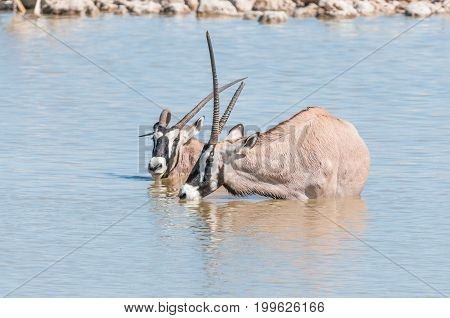 Two oryx also called gemsbok one with a deformed horn one with broken horn in a waterhole in Northern Namibia