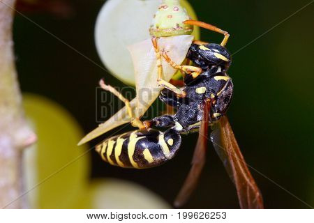 Predatory dangerous wasp is eaten by green grapes