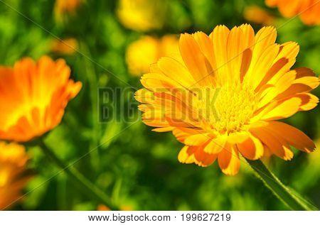 Fresh officinalis orange flowers of calendula on green background. Marigold.