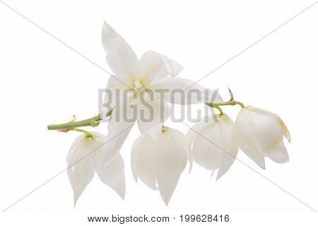 Yucca elegans flower isolated on white background