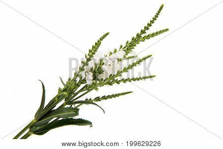Veronica white flower on a white background