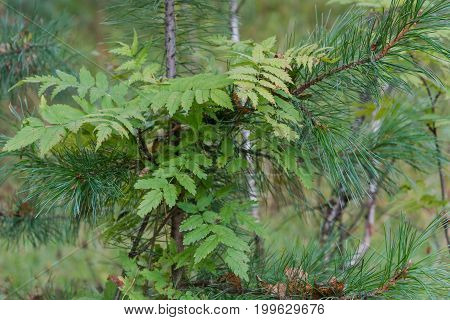 Ashberry In A Pine Forest