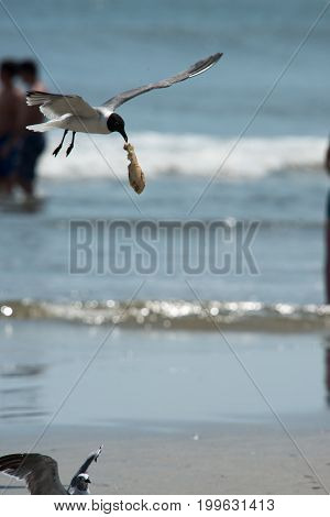 View of Seagull on the beach flying with food hanging out of its mouth