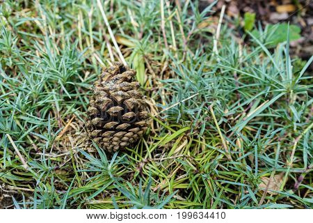 pinecone laying in meadow grass close up