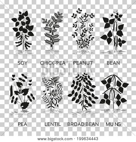 Legumes plants with leaves, pods and flowers. Silhouette icons with reflection on transparent background. Vector illustration.
