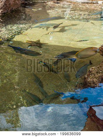 Tropical fish swim in a pond at a Hawaiian aquarium.