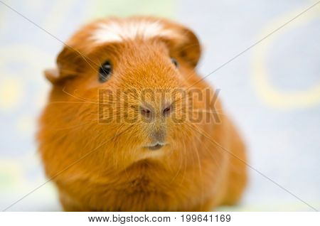 Cute funny-looking guinea pig against a bright background (selective focus on the guinea pig nose)