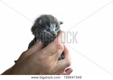 Kitten In The Hands