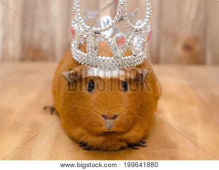 Funny guinea pig wearing a crown (on a wooden background)