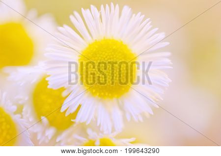 Macro shot of beautiful sunlit wild chamomile flowers (very shallow DOF selective focus)