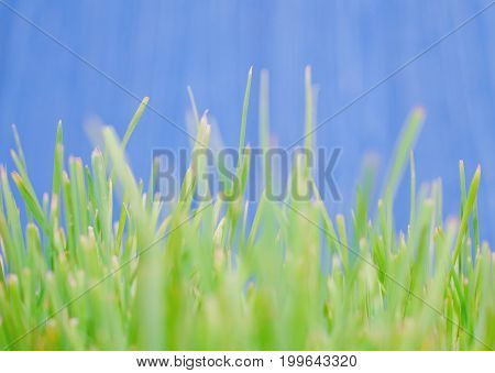 Macro shot of blurred out-of-focus silhouettes of green grass against the bright blue background at the end of summer very shallow DOF (as an abstract blurred green background)