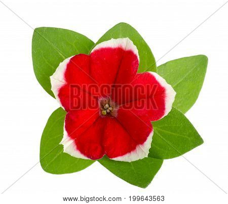 Red white flower of petunia with green leaves isolated on white background.