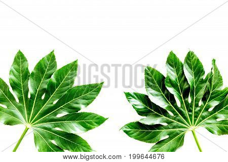 Pattern of exotic plant's leafs on white background top view.