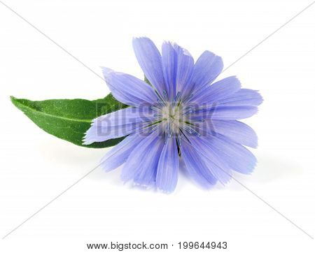 Chicory flower with leaf isolated on white background macro.