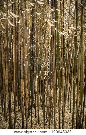 Brown bamboo forest in Rhode Island USA
