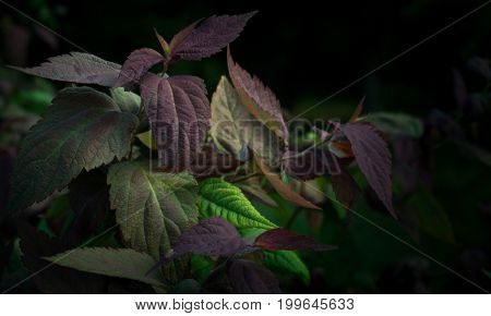 Colorful bush, green and violet leaves, decorative shrub