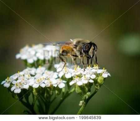 Fly on flower white flower brown fly
