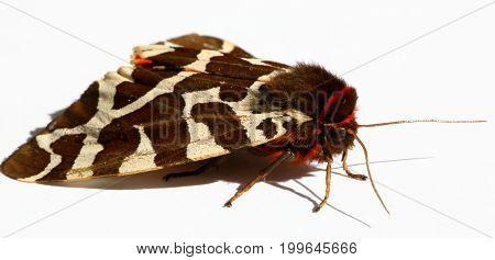 Great Tiger Moth, on latin  Arctia Caja
