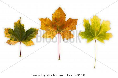 Autum season background, yellow maple leaves isolated on white background with copy space.