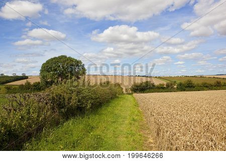 Summer Hedgerow And Wheat