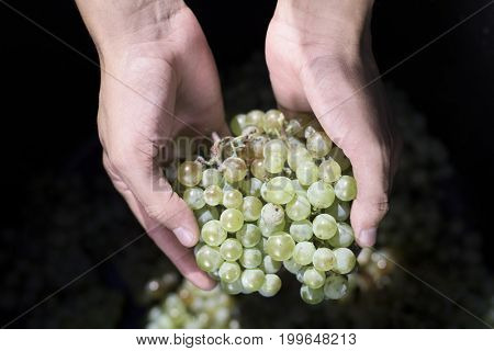 closeup of a young caucasian man with a bunch of white grapes in his hand during the harvesting