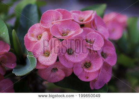 Flower Euphorbia Milli Crown Of Thorns, Christ Thorn