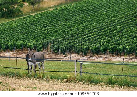 Gray donkey on the background of the grape field in France