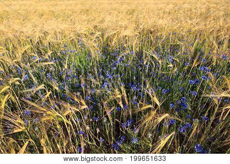 Blue cornflowers in the field. Summer background.
