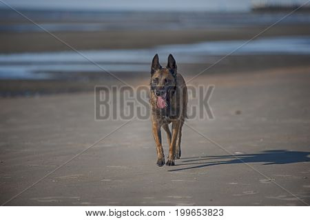 Belgian Sheepdog Malinois walking on sand beach on a sunny summer day. He is relaxed but his ears are up listening what is around him. Panting and prepared for guard.