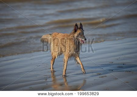 Beautiful dog walking on beach in sunny summer day. He is standing in water. It is sea beach.