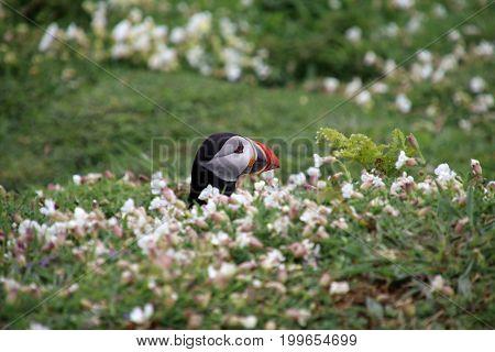 A beautiful Puffin portrait on Skomer Island