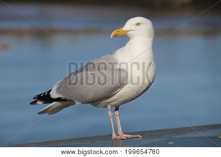 A Seagull with water in the background