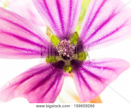 Pink Common Mallow Malva Sylvestris Up Close On White Background With Water Dew Droplets