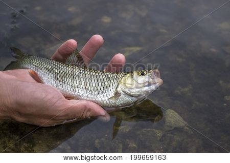 Small Chub Fish In Hand. Releasing Fish Back In Water