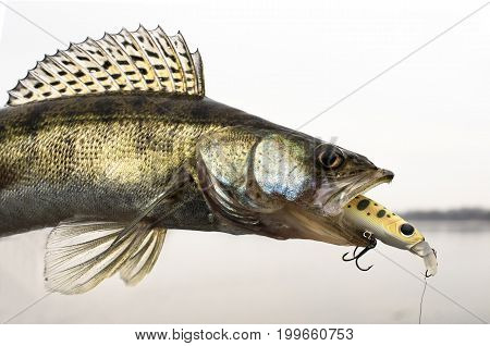 Zander Fish With Fishing Lure On The Lake Background
