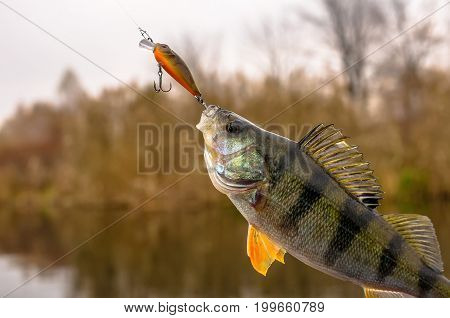 Perch Fish With Fishing Lure On The Lake Background