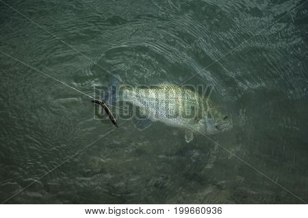 Catched Bass Fish Under Water. Fishing Background