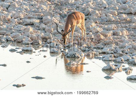 An impala ram (Aepyceros melampus) drinking water at sunset at a waterhole in Northern Namibia