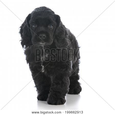 american cocker spaniel puppy walking towards viewer