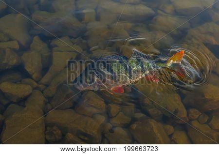 Splash Perch Fish In Water On Stones Background